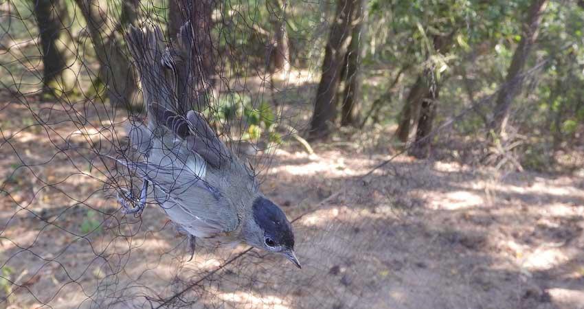 Uccellagione: la cattura degli uccelli selvatici è legale?