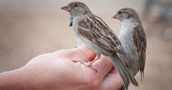 Soccorso a un nidiaceo di passero