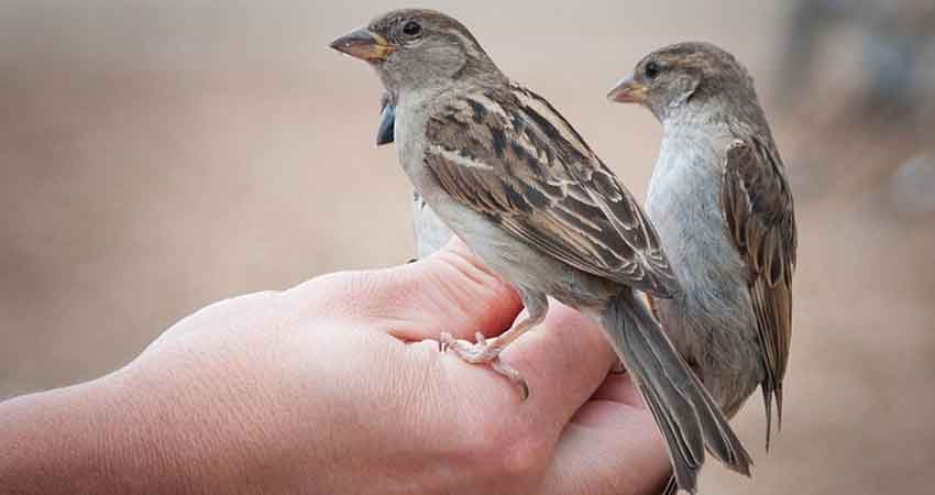 soccorrere un passero caduto dal nido