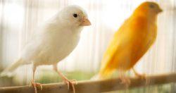 Il canarino domestico
