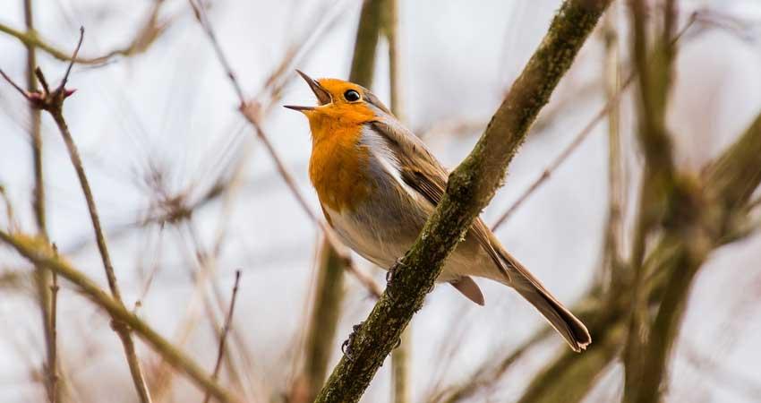 Il canto e la parola degli uccelli