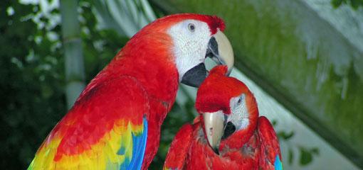 I pappagalla sono uccelli con una vita sociale intensa, stringono legami di coppia molto forti che durano anche dopo il periodo riproduttivo. Nella foto una coppia di ara chloroptera durante uno scambio di effusioni.