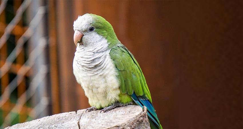 Parrocchetto Monaco Uccelli Domestici