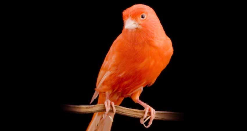 Canarino Rosso