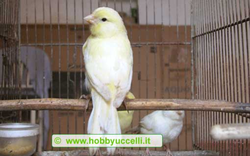 Il Canarino (Serinus canaria) è senza dubbio il l'uccello domestico più conosciuto e più allevato, sia da alleatori professionisti che da appassionati ornitofili. Foto: Hobby Uccelli