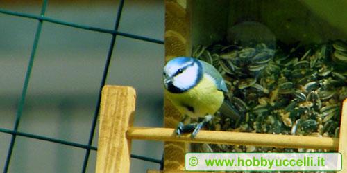 Cinciarella (Parus caeruleus) che mangia ad una mangiatoia a tramoggia per uccelli selvatici