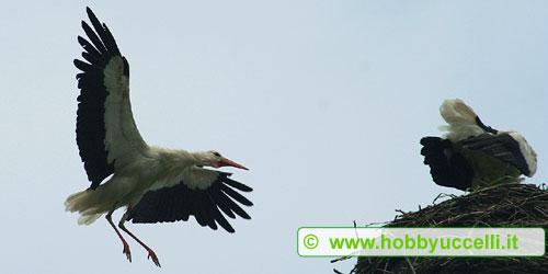 Coppia di cicogna sul nido