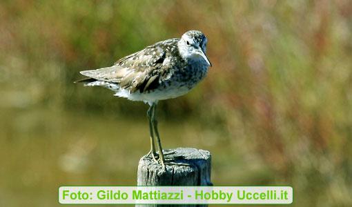 uccelli che vivono nel Delta del PO