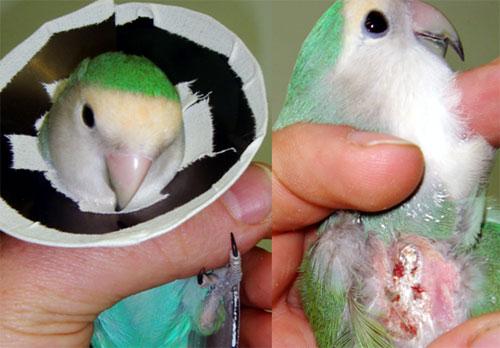 Figura 1 Agapornis. In taluni casi, come in questo pappagallo con CUD, eliminate tutte le potenziali cause, non resta che applicare un collare elisabettiano il quale impedisca all'animale di prodursi ferite. Durante il periodo di applicazione è essenziale che il proprietario vigili sulla capacità dell'animale di alimentarsi. Foto Dott. Gianluca Marchetti DVM