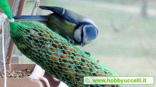 Cinciarella mentre si nutre di nocciole messe a disposizione in una mangiatoia da birdgardening