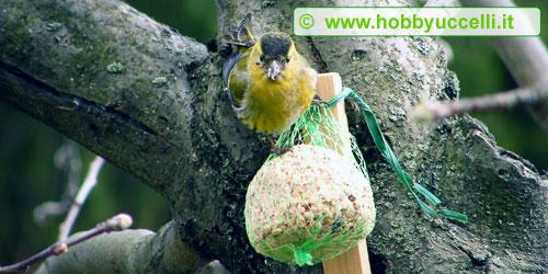 Esperienza di birdgardening in giardino, il grasso in inverno è molto ricercato dagli uccelli per combattere le basse temperature