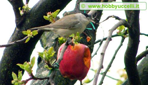 Esperienza di birdgardening in giardino, le capinere non sono buone frequentatrici di mangiatoie e per attirarle in giardino è consigliabile disporre qualche albero da frutta