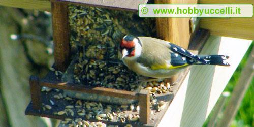 Esperienza di birdgardening in giardino, I cardellini, come la maggior parte dei fringillidi, non amano cibarsi dalle mangiatoie e preferiscono beccare direttamente a terra i semi che cadono