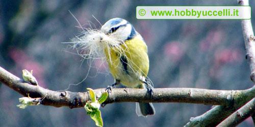 Esperienza di birdgardening in giardino, Nella fotografia una cinciarella che tra il becco ha del materiale per la costruzione del nido