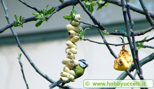 Esperienza di birdgardening in giardino Cinciallegra