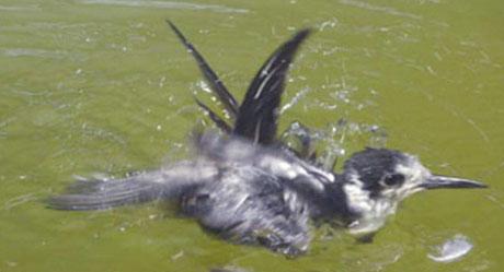 Prove di galleggiamento, per verificare l'impermeabilità del piumaggio, nella vasca della voliera degli uccelli acquatici al CRUMA. - Foto: CRUMA.