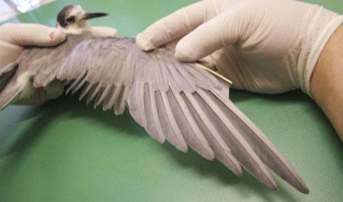 Controllo del piumaggio prima del rilascio, questa verifica è indispensabile per assicurarsi una completa guarigione dell'uccello. - Foto: CRUMA.