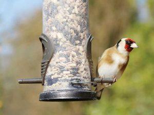 Cardellino che mangia semi da una mangiatoia silos