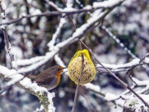 Anche il pettirosso non disdegnano le palle di grasso soprattutto quando la neve ricopre gli alberi e il terreno.