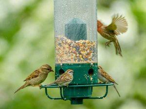 Gruppo di passeri che mangiano sementi da una mangiatoia a silos