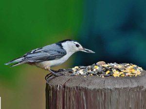 Semi per uccelli selvatici