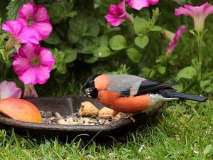 Un ciuffolotto mentre mangia da un vassoio per il birdgardening