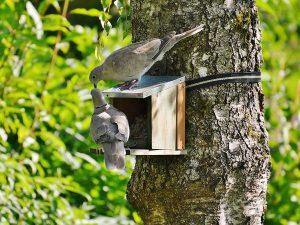 Tortore dal collare mentre mangiano da una mangiatoia per il birdgardening