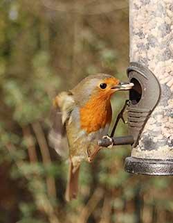 Pettirosso mentre mangia da una mangiatoia per uccelli selvatici