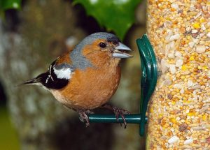 Fringuello maschio che mangia da una mangiatoia per uccelli selvatici
