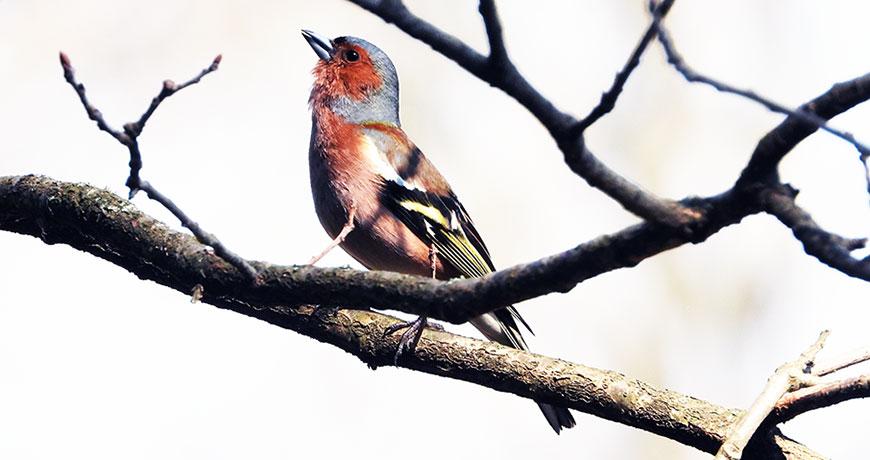 Maschio di Fringuello che da un ramo fa udire il suo canto durante il periodo degli amori