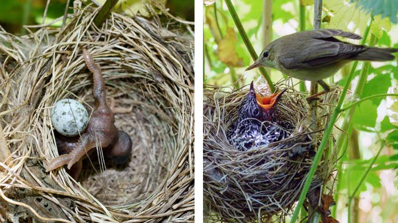 Pulcino di Cuculo nel nido