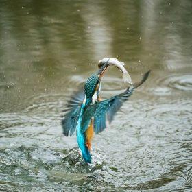 Martin Pescatore con piccola preda appena catturata