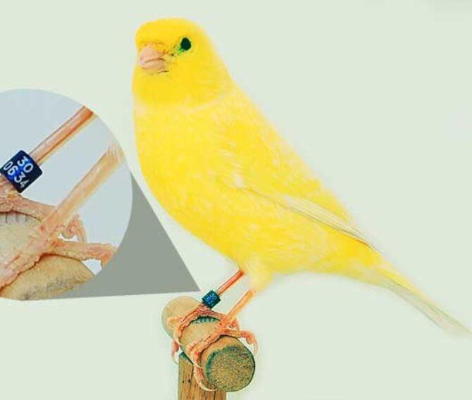 Gli anelli per uccelli
